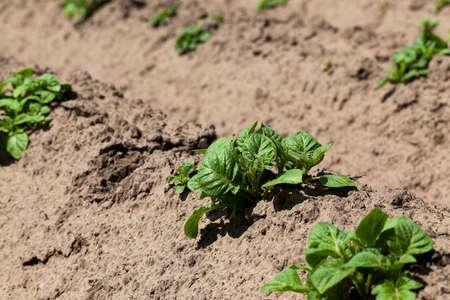 furrow: photographed close-up green shoots of potatoes. furrow, spring