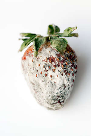 unsound: photographed red ripe strawberries, covered with white mold, spoiled strawberries closeup