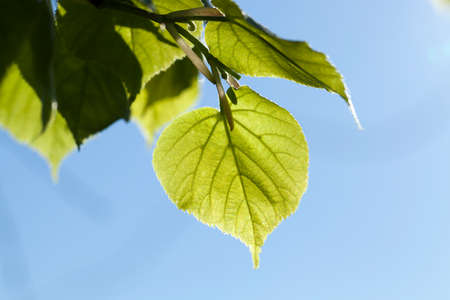 Young linden green leaves in the spring time of the year, close-up Stock Photo