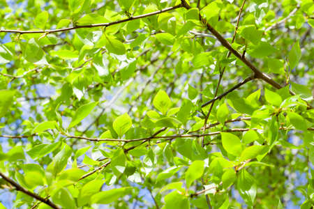photographed close-up of green lime tree leaves in the spring time of the year, a small depth of field