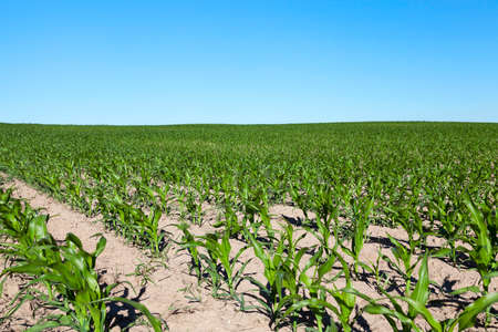 indigenous medicine: agricultural field where maize is grown. Immature harvest green against the blue sky Stock Photo