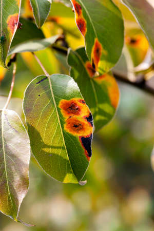 blushing: photographed in the autumn foliage of a pear tree, close-up, blushing leaves