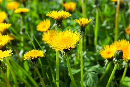 photographed close-up of yellow dandelions in springtime, shallow depth of field Stock Photo
