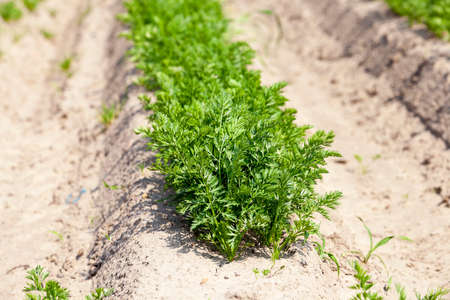 chit: the field of agriculture, which grew little green sprouts of carrots