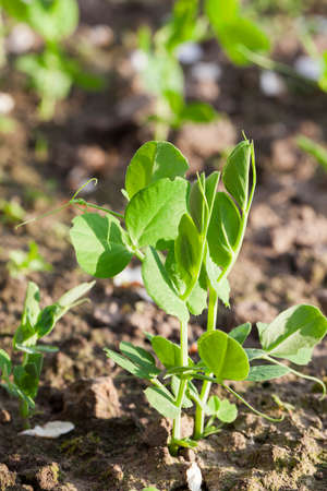 bean family: Agricultural field on which grow young green peas, small depth of field
