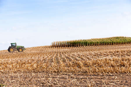 crop  stalks: agricultural field where a tractor collects mature corn crop, beveled yellowed stalks of a plant close up, the autumn season, blue sky,