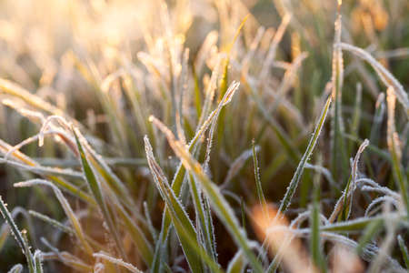 photographed close-up of young sprouts of wheat with frost on it, morning, sunny yellow dawn defocused