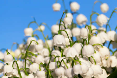 photographed close-up white flowers lily of the valley growing in the forest in the spring time of the year. Blue sky in the background Stock Photo