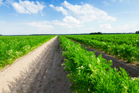the arable land: photographed close-up of an agricultural field on which grow green shoots of carrots, on a background of blue sky with white clouds Stock Photo