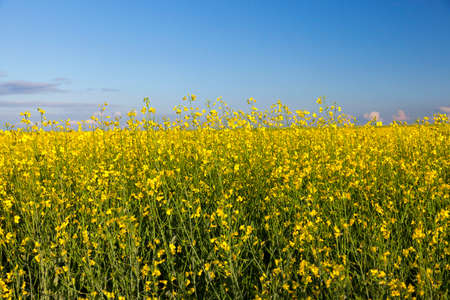 canola: photographed close up in the agricultural field rape flower