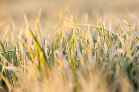 small sprouts of wheat, photographed after frost at dawn, defocused, sun dawn,