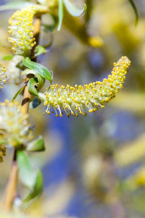 photographed close-up of yellow flowers during flowering willow tree, a small depth of field
