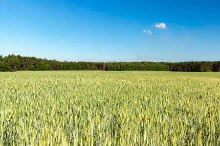 wheatfield: Agricultural field on which grow immature cereals, wheat.