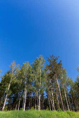 forest photo, which grows a large number of pine trees, blue sky