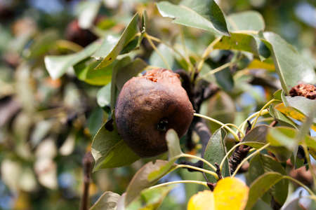 unsound: a rotten pear, which is hanging on the tree in the orchard. Photo close-up, small depth of field.