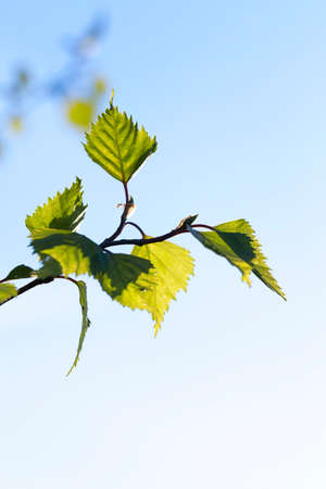 birchen: photographed close-up of a young birch tree green leaves on the background blue sky Stock Photo