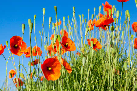Agricultural field where weeds have grown, including poppy red, blue sky