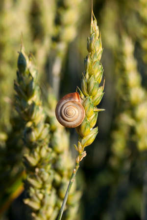 Agricultural field on which grow immature young cereals, wheat. on an earing is snail