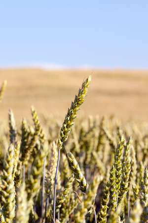 Agricultural field on which grow up ripening and changing color to yellow cereals, wheat
