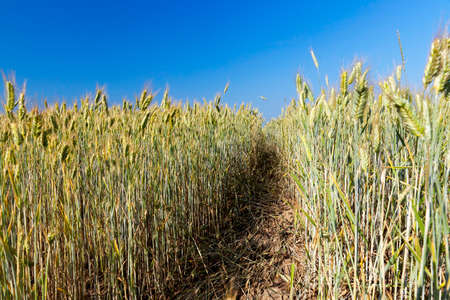 yellowed grass, which is almost ready for harvest, close-up. In the background, blue sky and a path through the field