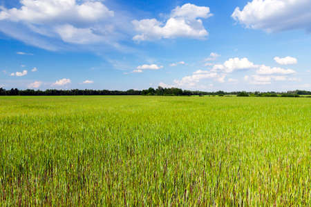 Agricultural field on which grow immature young cereals, wheat. Blue sky in the background Stock Photo