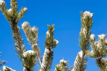 piny: spruce branches, close-up