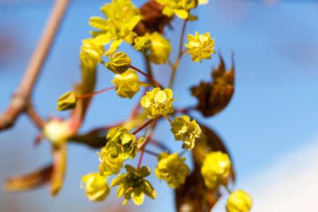 norway maple: flowering maple tree
