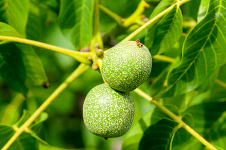 Close up view of unripe walnut growing no the tree