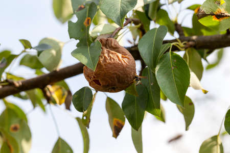 unsound: rotten pear on the tree Stock Photo