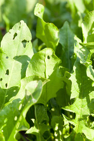 sorrel: green leaves of sorrel