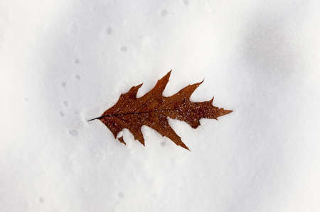 silver maple: snow drifts, close-up