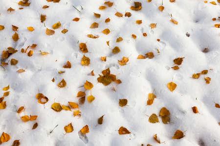 minutiae: yellow leaves on snow Stock Photo