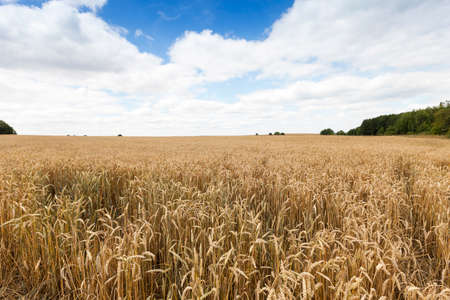 field of ripe cereal Stock Photo