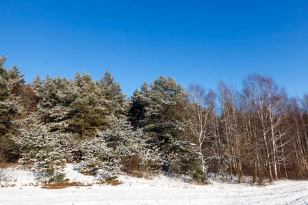 piny: spruce in the snow, winter