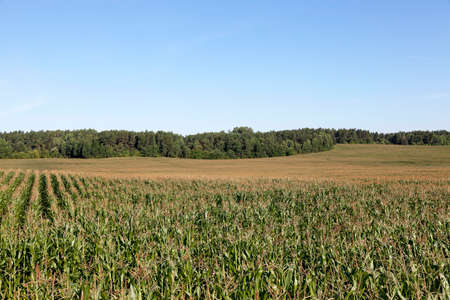 puerile: Field with corn