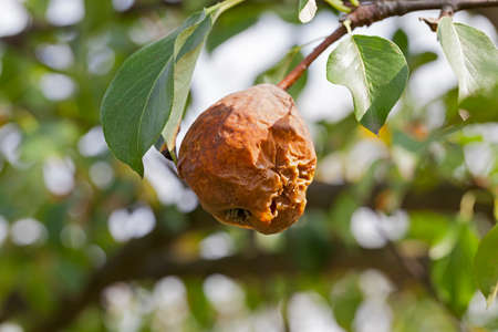 depraved: rotten pear on the tree Stock Photo