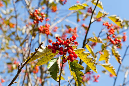 sorb: red mountain ash in the autumn