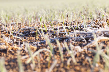 covered fields: green wheat in frost, close-up
