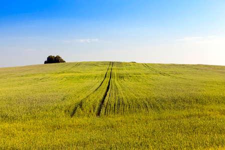 green unripe cereal Stock Photo