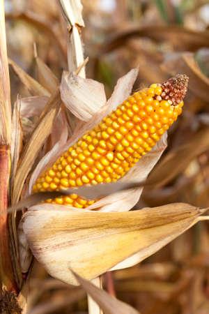 commodities: Ripe yellow corn Foto de archivo