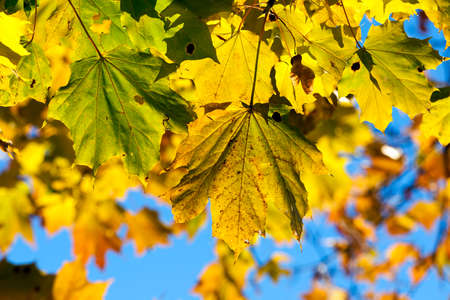 frondage: yellowed maple trees in autumn Stock Photo
