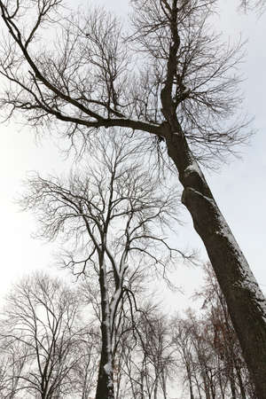 cold: bare tree trunks covered with snow in the winter season. Photographed against a gray sky.