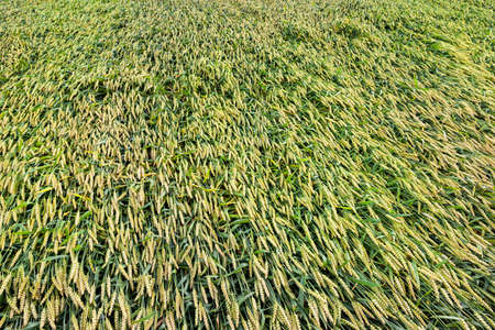 Crushed and dumped on the ground is not mature wheat in the field. Destroyed crop of green cereals from rain and wind. Photo close-up of an agricultural field Stock Photo
