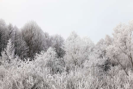 cold: A cold day in the winter deciduous forest after a snowfall. Photo landscapes