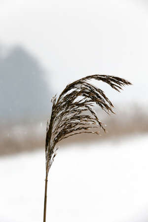 cold: covered with dry grass in the winter of the year. Snowfall and falling snow is seen as a point and strip. Small depth of field and the sky in the background