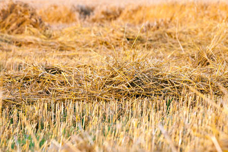 agricultural field, which harvested wheat and in the soil remained to stick out the small sharp stems of the plant. Small depth of field, photo taken close-up