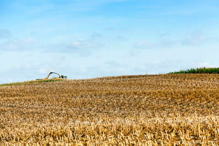 agricultural field where a tractor collects mature corn crop, beveled yellowed stalks of a plant close up, the autumn season, blue sky,