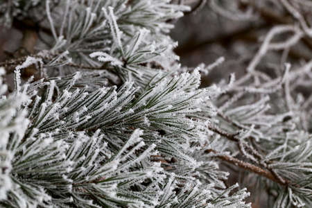 cold: Green needles of pine covered with beautiful long crystals of frost. photo Close-up in a pine forest in winter. small depth of field Stock Photo