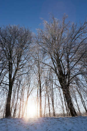 cold: trees covered with snow and frost. Winter, sunny weather. Photographs close-up with blue sky in the background. At the bottom of the frame you can see the sun with rays Stock Photo