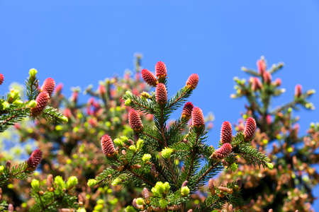 Fir in spring and red blossoming cones on branches with needles. Blue sky in the background. beautiful nature